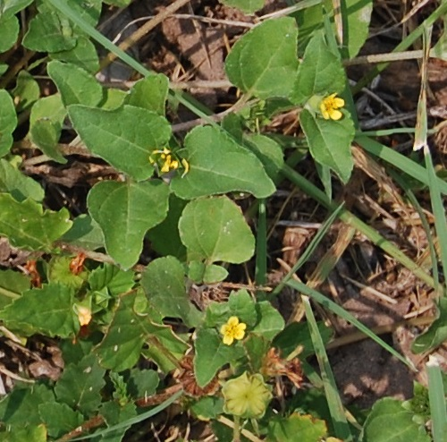 South texas natural lawn this plant with tiny 3 to 5 mm yellow flowers is fairly common mightylinksfo